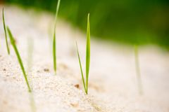 Green grass in the sand in the nature Royalty Free Stock Photography