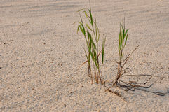 Green grass on the  sand Stock Images