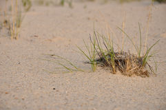 Green grass on the sand Stock Photography