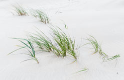Green grass on the sandy beach of the Baltic Sea Stock Image