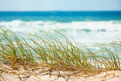 Green grass on sandy dune overlooking beach Royalty Free Stock Image