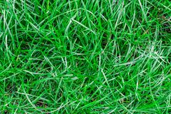 Green grass seamless texture. Seamless in only horizontal dimension. Green grass texture seamless. Seamless backgroundhorizontal dimension royalty free stock image