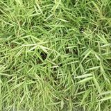Green grass seamless texture. Seamless in only horizontal dimension. Great for any use royalty free stock photos