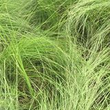 Green grass seamless texture. Seamless in only horizontal dimension Royalty Free Stock Photography