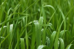 Green grass , with drops of dew, background for substrate. Green grass sedge, with drops of dew, background for substrate, in the Park, in the garden Stock Image