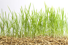 Green grass and seed. Closeup stock image