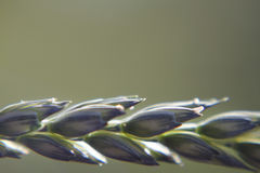 Green grass seed head background Stock Image