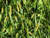 Green grass seeds stock images