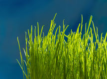 Green grass. Shallow depth of field Royalty Free Stock Photography