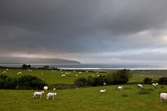 Green grass sheep lam the sea Ireland landscape Stock Photography