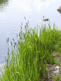 Green grass on the shore of the pond Royalty Free Stock Photos