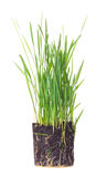Green grass showing roots. Isolated on white Stock Images