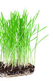 Green grass showing roots. On a white background Royalty Free Stock Photos
