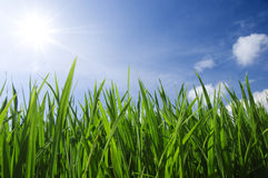 Green grass and sky Stock Photography