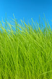 Grass and sky macro Stock Photography