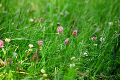 Green grass with small flowers Royalty Free Stock Image