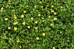 Green grass with small yellow flowers in view from above royalty free stock images
