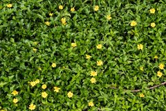 Green grass with small yellow flowers in view from above royalty free stock image