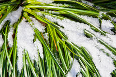 Green grass and snow Royalty Free Stock Photography