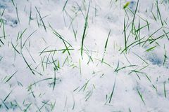 Green grass in snow, Hello spring, Goodbye winter concept Royalty Free Stock Image