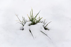 Green grass with snow. And white backgrounds, winter Stock Photo