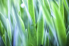 Green grass. Soft focus Stock Photography