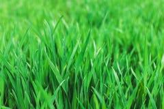 Green grass.Soft focus. Green grass. Background fresh, spring, summer natural. Soft focus.Environment concept stock image
