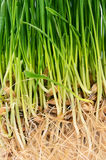 Green grass with soil close up Stock Photos