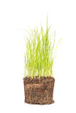Green grass in soil isolated on white Stock Photo