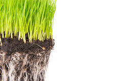 Green grass and soil. From a pot with plant roots isolated on white background. Macro shot with copyspace Stock Photos