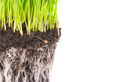Green grass and soil from a pot. With plant roots isolated on white background. Macro shot with copyspace Royalty Free Stock Photography