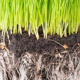 Green grass and soil from a pot. With plant roots  on white background. Macro shot Stock Photos