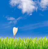 Green grass with solitary crocus against blue sky Royalty Free Stock Image