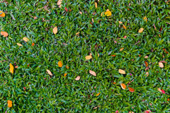 Green grass with some orange dry leave Stock Photo