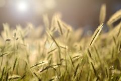 Green grass spikelet Royalty Free Stock Images