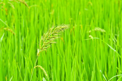 Green grass with spikelets Royalty Free Stock Photo