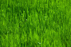 Green grass in spring Stock Photo