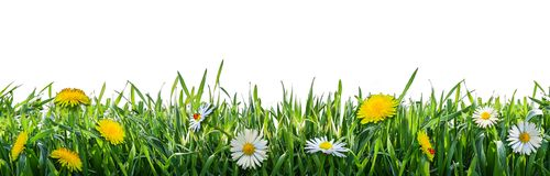 Green grass with flowers. Natural background. Green wild grass wit flowers isolated on white background. Natural background. Isolation is on a transparent layer royalty free stock image