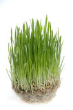 Green grass  sprout  over white background. Royalty Free Stock Photography