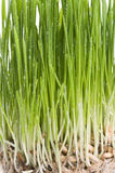 Green grass  sprout of wheat background. Royalty Free Stock Photography