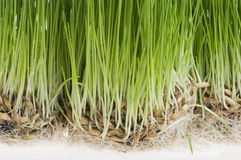 Green grass  sprout of wheat over white Royalty Free Stock Images