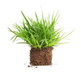 Green grass sprouts with roots isolated. Royalty Free Stock Photo