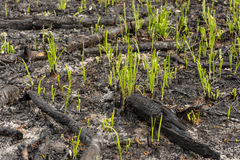 Green grass sprouts sprout through the ashes after a fire in a coniferous forest background texture Stock Photography