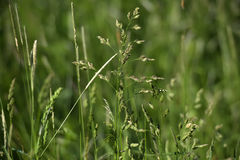 Green grass stalks Stock Image