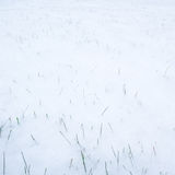 Green grass sticking out from first snow on garden lawn Royalty Free Stock Images