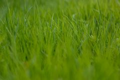 Green grass. the grass stirs from the wind. blurred background stock image
