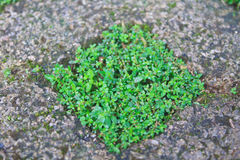Green grass in stone block walk path Stock Photo