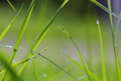 Green grass straws with dew drops royalty free stock photos