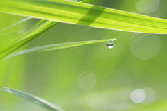 Green grass straws with drops of dew Royalty Free Stock Photography