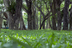 Green grass. Street Trees and green grass Stock Image
